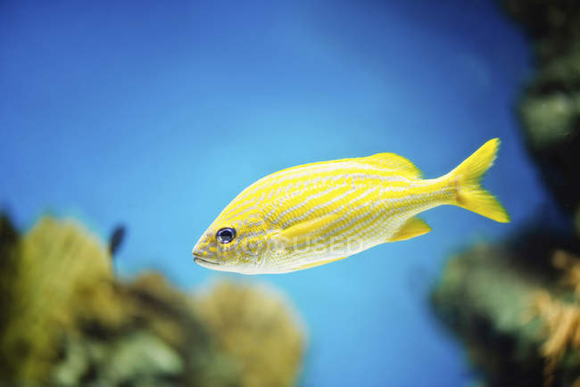 Yellow French grunt fish swimming in water, close-up. — Stock Photo