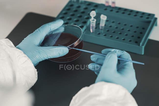 Микробиолог, работающий в лаборатории с ростом бактерий в чашке Петри. — стоковое фото