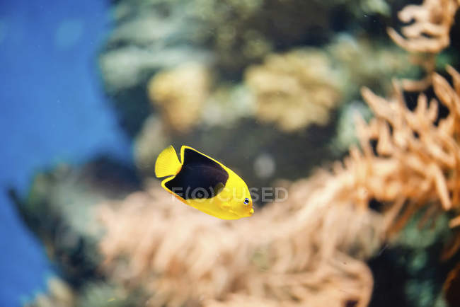 Rock beauty fish with black and yellow pattern in water. — Stock Photo