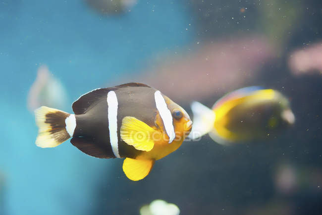 Yellowtail clownfish swimming in water, close-up. — Stock Photo