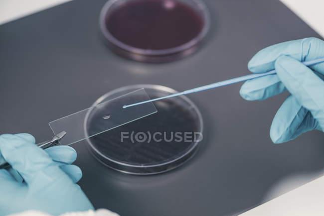 Руки мікробіолога приймають проби з Агар пластини в лабораторних. — стокове фото
