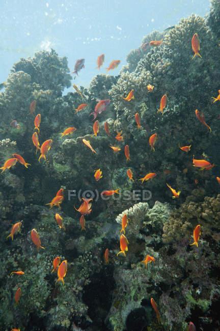 École de poissons anthias brillamment éclairés jouant à l'ombre des coraux . — Photo de stock