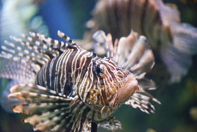 Pez león con aletas tradicionales en el agua, primer plano detallado . - foto de stock
