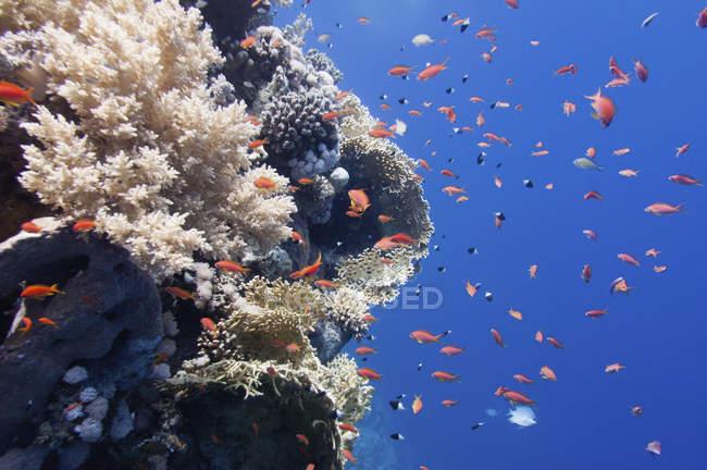 Varios tipos de corales duros y blandos con escuela de peces tropicales. - foto de stock