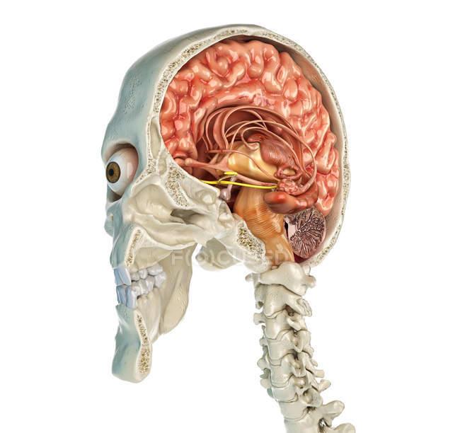 Sección transversal sagital media del cráneo humano con el cerebro en perspectiva vista sobre fondo blanco . - foto de stock