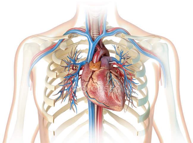 Silhouette umana mostrando cuore con vasi sanguigni e albero bronchiale su sfondo bianco . — Foto stock