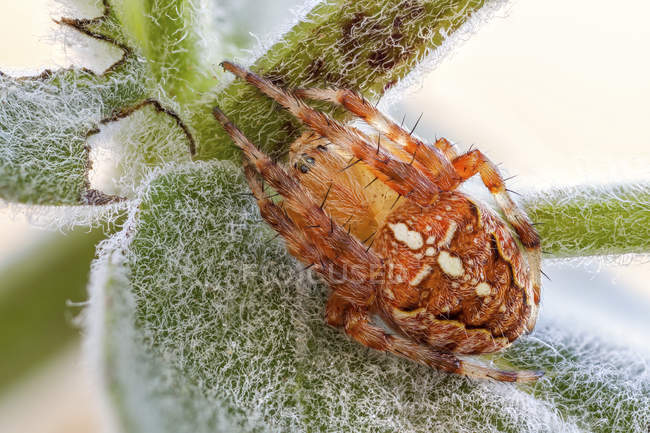 Close-up of orange orb weaver spider on furry wildflower leaf. - foto de stock