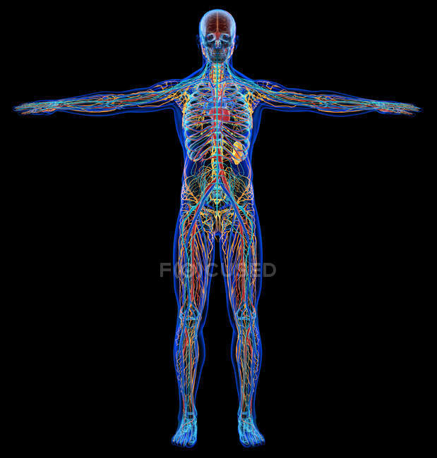 Мужская диаграмма рентгеновской сердечно-сосудистой, нервной, лимфатической и скелетной систем на черном фоне. — стоковое фото