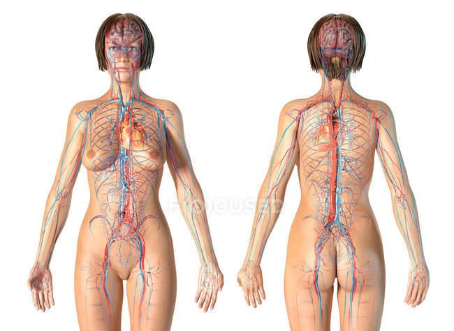 Жіноча анатомія, що показує серцево-судинну систему на білому фоні. — стокове фото