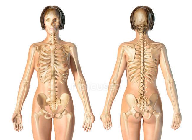 Female skeletal system on white background. — Stock Photo