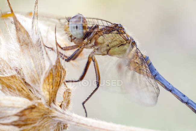 Close-up of dragonfly perched on dried plant outdoors. - foto de stock