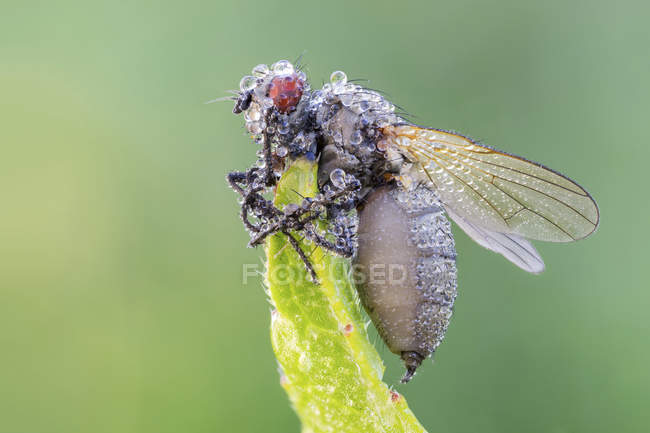 Entomopathogenic fungus infected fly at tip of leaf. — Stockfoto