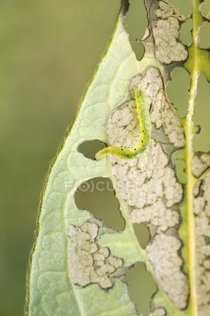 Срібло y міллю гусениця на жимолості листя. — стокове фото