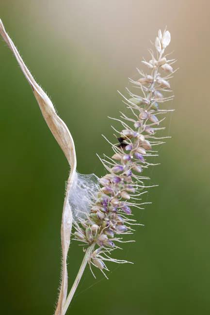 Toile de nid d'araignée de saut sur l'herbe de queue de renard. — Photo de stock