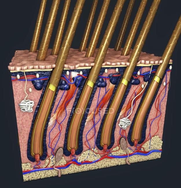 Иллюстрация сечения кожи человека с волосяными фолликулами и кровеносными сосудами. — стоковое фото