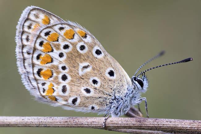 Idas mariposa azul sentada en el tallo seco. - foto de stock