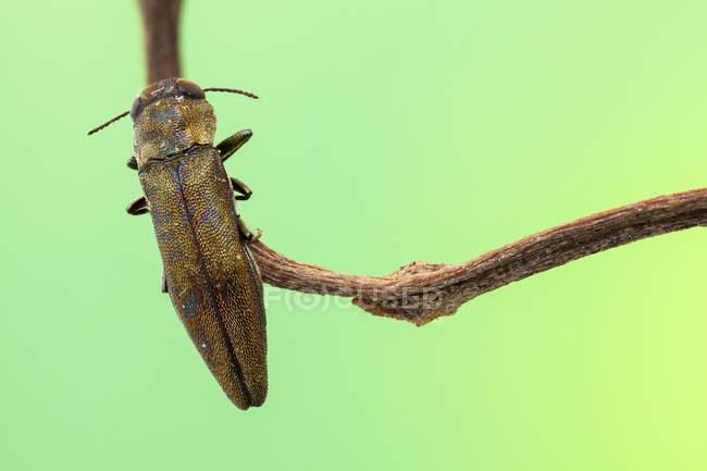 Tiny Jewel escarabajo en rama delgada. - foto de stock