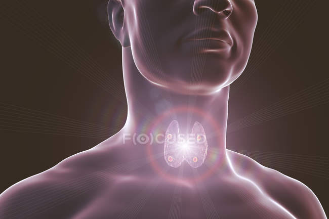 Digital illustration of accentuated red parathyroid glands situated behind thyroid gland in human silhouette. — Stock Photo