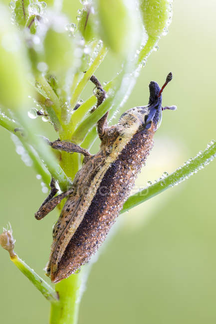 Close-up of Lixus junci weevil insect sitting on plant. — стокове фото
