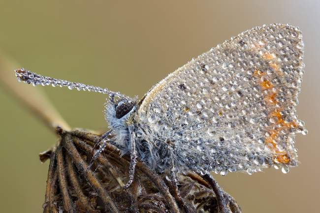 Close-up of small copper butterfly covered by dew drops on wild plant. - foto de stock