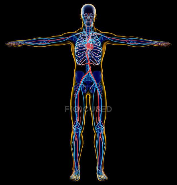 Sistema scheletrico e cardiovascolare maschile a raggi X su sfondo nero . — Foto stock