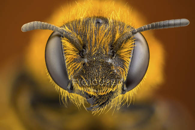 Close-up of orange legged furrow bee head and antennas. — стоковое фото