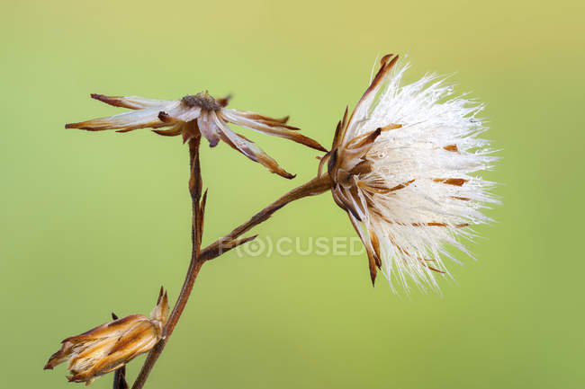 Close-up of Asteraceae wildflower seedhead on green background. - foto de stock