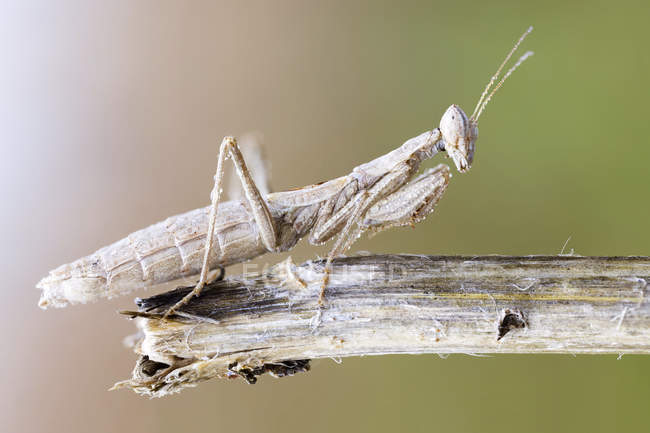 Mantis de oración camuflada en rama seca al aire libre. - foto de stock