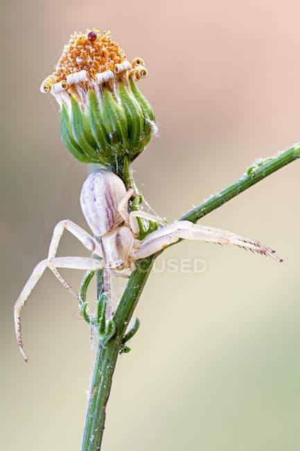 Close-up of flower crab spider on wild plant. — стоковое фото