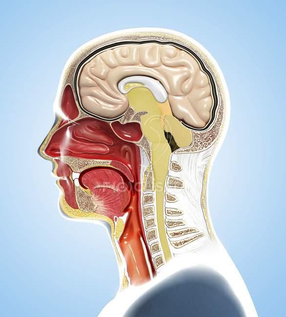 Illustrazione digitale dell'anatomia della testa umana nel profilo e nella sezione trasversale . — Foto stock