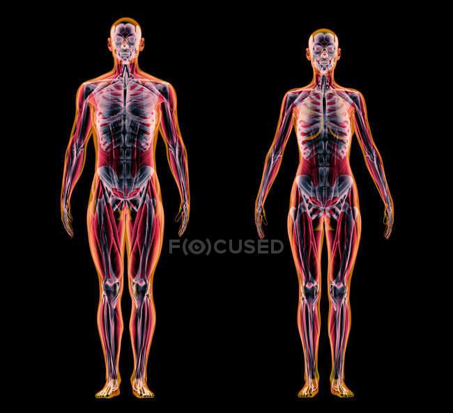 Чоловічі та жіночі м'язи і скелетні системи в рентгенівський ефект на чорному фоні. — стокове фото