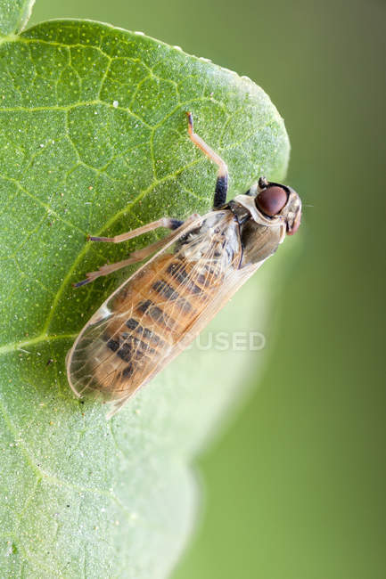 Close-up of leaf hopper at edge of green leaf. — Photo de stock