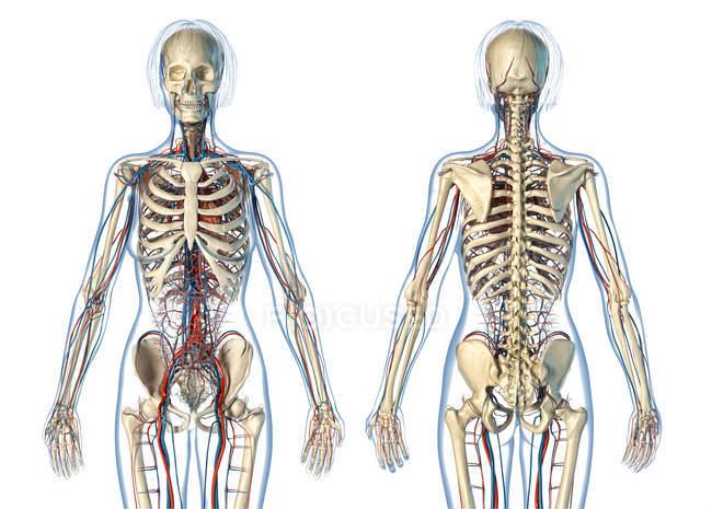 Жіноча Анатомія серцево-судинної системи з скелетом на білому фоні. — стокове фото