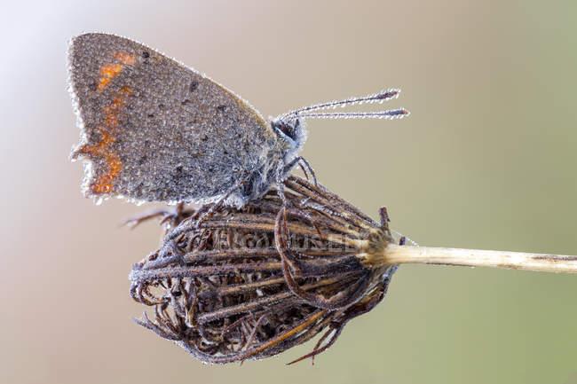 Petit papillon de cuivre couvert par des gouttes de rosée sur la plante sauvage. — Photo de stock