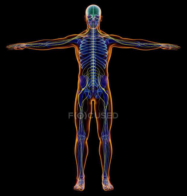 Diagramma maschile sistema nervoso a raggi X su sfondo nero . — Foto stock
