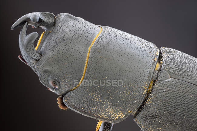 Lesser stag beetle head, detailed close-up. — Photo de stock