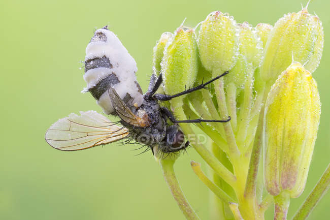 Entomopathogenic fungus infection on fly in mating position. — Stockfoto