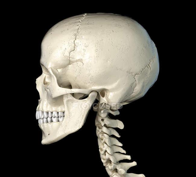 Calavera humana en vista lateral sobre fondo negro . - foto de stock