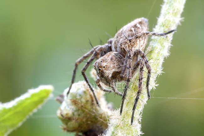 Aranha do lince que senta-se na haste selvagem da planta. — Fotografia de Stock