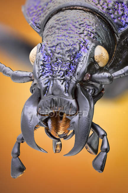 Ground beetle in black and purple, detailed portrait. — Photo de stock
