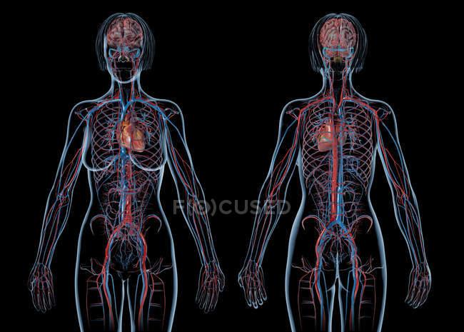 Sistema cardiovascular femenino sobre fondo negro . - foto de stock