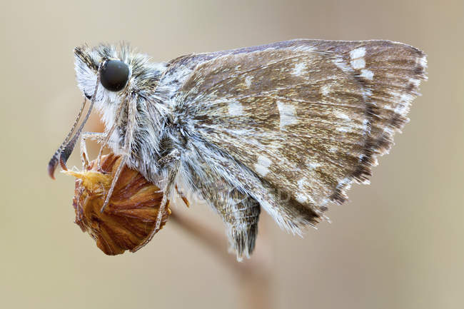 Close-up of grizzled skipper moth on dried wild plant. — стоковое фото