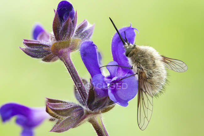 Close-up of bee fly on rose rhapsody flower. - foto de stock