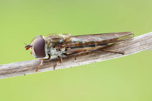 Close-up of marmalade hoverfly perched on thin branch. — стоковое фото
