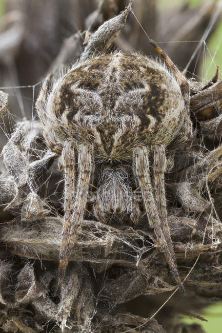 Araignée d'orbweaver camouflée sur la plante sauvage séchée. — Photo de stock