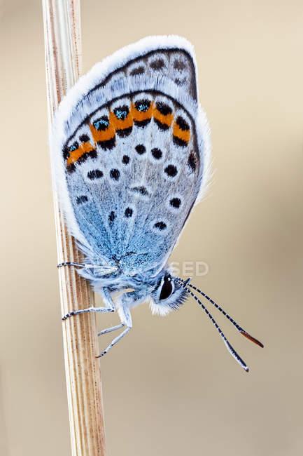 Close-up da borboleta do azul de idas na filial fina. — Fotografia de Stock