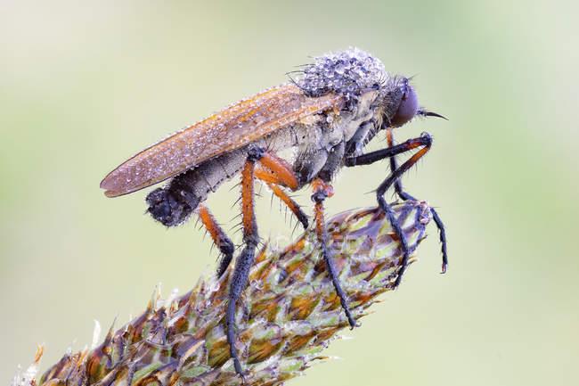 Dagger fly sitting on Plantago lanceolata plant blossom. — Fotografia de Stock