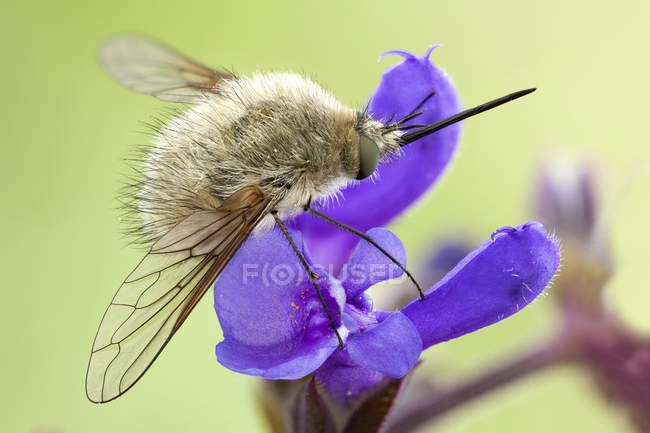 Close-up of bee fly on rose rhapsody flower. — стоковое фото