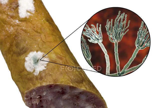 Плесень копченая колбаса и иллюстрация микроскопических грибов Penicillium, вызывающих порчу пищи и производство антибиотиков пенициллин . — стоковое фото