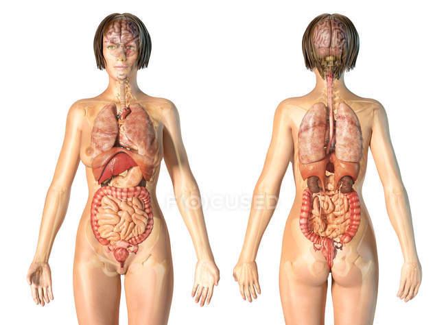 Анатомия женщины показывая внутренние органы со скелетом на белом фоне. — стоковое фото